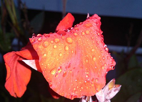 Water drops condense overnight as air cools below its dew point
